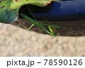 目が合うカマキリ 78590126