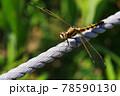 縄にとまる蜻蛉 78590130