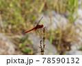 赤いショウジョウトンボ 78590132