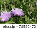 ルリキクの花 78590472