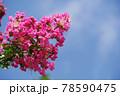 ピンクのサルスベリ 78590475