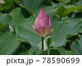 咲きほころぶ蓮の花 78590699