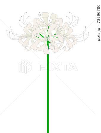 白の彼岸花のイラスト 78596786