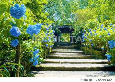 鎌倉 明月院(あじさい寺)の紫陽花 78599382