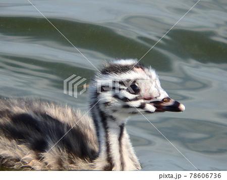仙台市の大沼を泳ぐ産毛がかわいらしいカンムリカイツブリの雛鳥 78606736