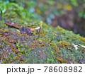 苔 (鹿児島県・屋久島) 78608982
