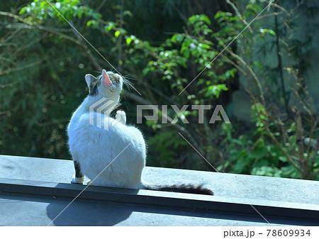 屋根の上でのんびりと毛づくろいする野良猫 78609934