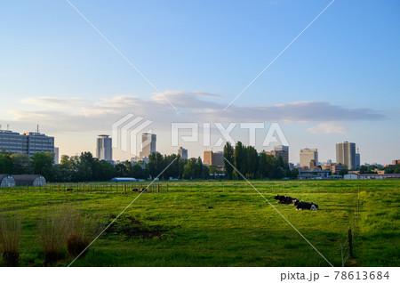 早朝の日差しを浴びてくつろぐ北大農場の牛コピースペース 78613684