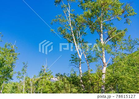 (長野県)乗鞍高原・一の瀬園地 散策路の白樺林 78615127