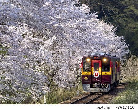春のわたらせ渓谷鐵道 陽に輝く桜 78617116