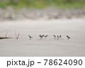 海岸の浜辺を歩くトウネンの群れ(北海道) 78624090