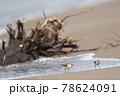 海岸の浜辺を歩くトウネンの群れ(北海道) 78624091