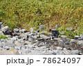 知床の沢に現れたヒグマ(北海道) 78624097