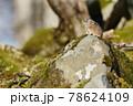 ナキウサギ(北海道) 78624109
