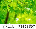 新緑素材【モミジの葉っぱ】 78628697