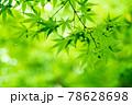 新緑素材【モミジの葉っぱ】 78628698