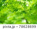 新緑素材【モミジの葉っぱ】 78628699