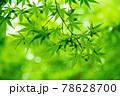 新緑素材【モミジの葉っぱ】 78628700