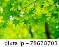 新緑素材【モミジの葉っぱ】 78628703