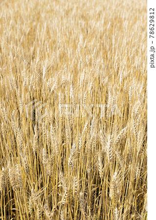 麦畑イメージ 78629812