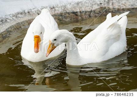 2 white goose swimming together (ガチョウ) 78646235