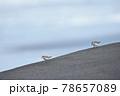 波打ち際で出会ったトウネンの群れ(北海道) 78657089