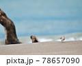 波打ち際で出会ったトウネンの群れ(北海道) 78657090