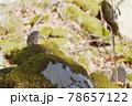ナキウサギ(北海道) 78657122