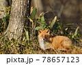 秋の森で出会ったキタキツネ(北海道) 78657123
