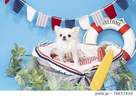 バスケットに入った白いチワワ(夏イメージ) 78657839