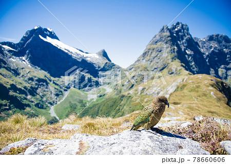 世界一美しい散歩道「ミルフォードトラック」で出会った野鳥のケア ニュージーランド絶景ハイキング 78660606