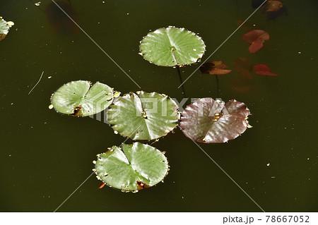 初夏の北海道七飯町大沼公園で蓮の葉が浮く風景を撮影 78667052