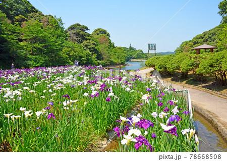 山口県山陽小野田市の物見山公園花菖蒲園 78668508
