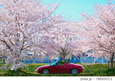 桜並木とオープンカー 78669521