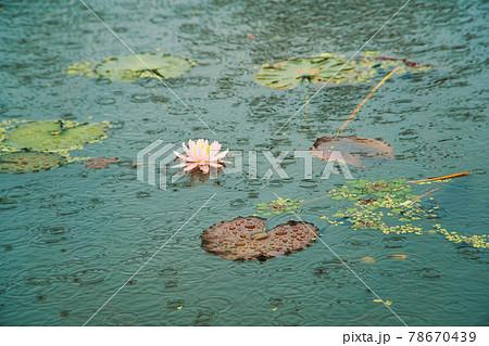 衆楽園の池に咲くピンクのスイレンの花と水面の水滴 岡山県津山市 78670439