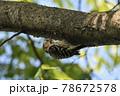 近所の公園に生息するコゲラ 78672578