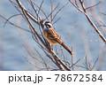 川辺の枝で休憩するホオジロ 78672584