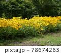 写真素材 黄色 花 78674263