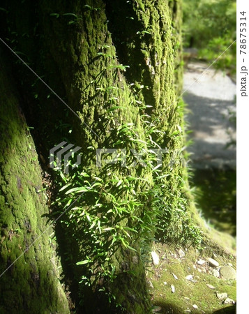 明暗のはっきりしている幹に苔や草が着生している大木の根本 78675314