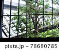 オフィスビルの窓から見える新緑の大木 78680785