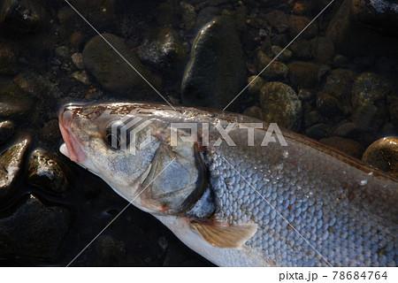 相模川の厚木で投網に入ったマルタ鯎 78684764