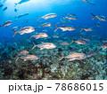 珊瑚礁を泳ぐアジ(ホースアイジャック)の大群 (プラヤ・デル・カルメン、メキシコ) 78686015