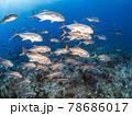 珊瑚礁を泳ぐアジ(ホースアイジャック)の大群 (プラヤ・デル・カルメン、メキシコ) 78686017