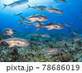 珊瑚礁を泳ぐアジ(ホースアイジャック)の大群 (プラヤ・デル・カルメン、メキシコ) 78686019