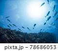 珊瑚礁を泳ぐアジ(ホースアイジャック)の群れ (プラヤ・デル・カルメン、メキシコ) 78686053