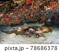 砂地に逆さまに横たわるウツボと群がる魚(ウサギニベ) (プラヤ・デル・カルメン、メキシコ) 78686378