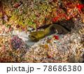 岩陰に潜むウツボ(グリーンモレイ) (プラヤ・デル・カルメン、メキシコ) 78686380