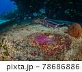 岩に産み付けられた海水魚の卵 (プラヤ・デル・カルメン、メキシコ) 78686886