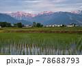 田植え後の水田に映える美しい唐松岳・五竜岳の朝焼け 長野県白馬村 78688793