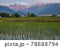 田植え後の水田に映える美しい唐松岳・五竜岳の朝焼け 長野県白馬村 78688794